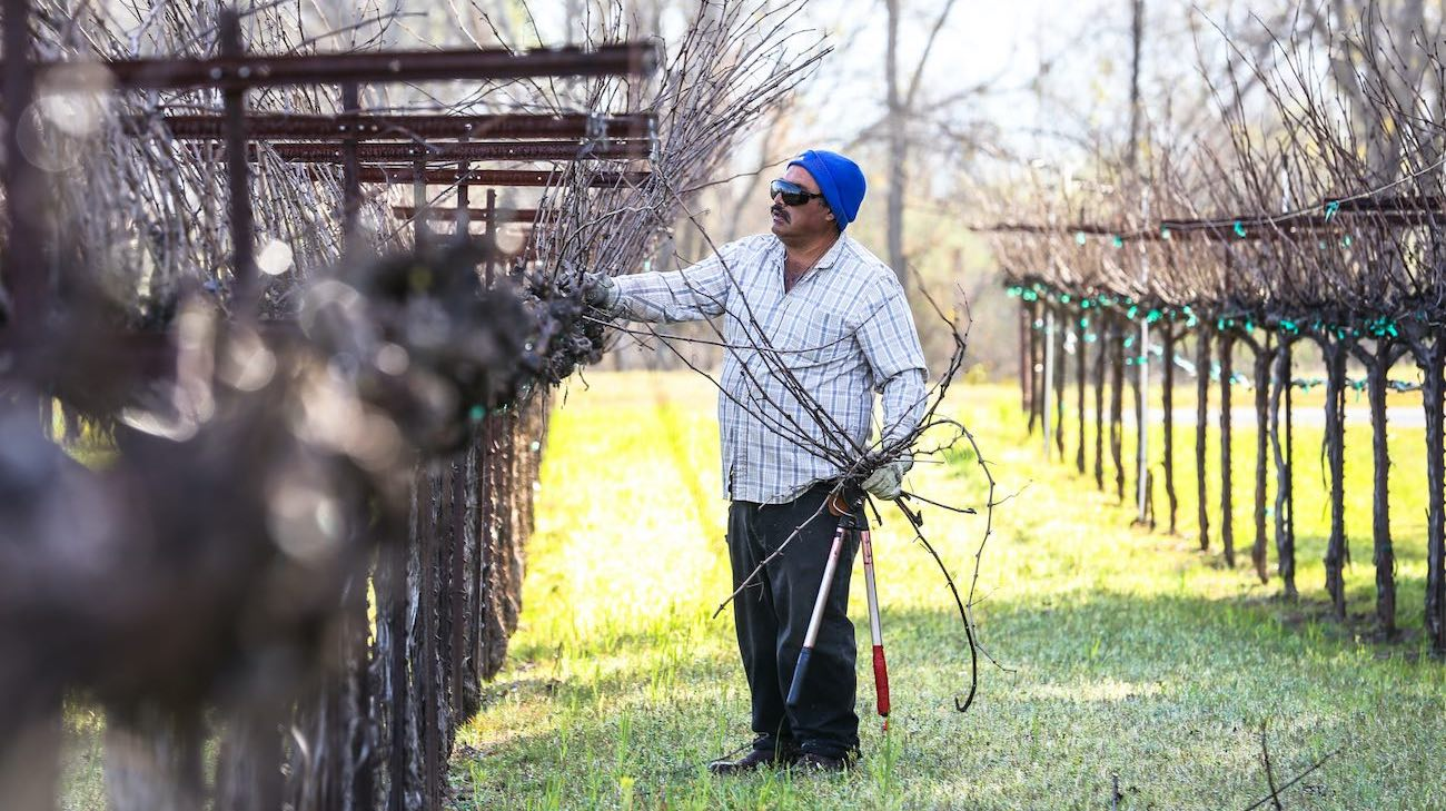 Pruning vines in 2018 in Lake County, Calif by Nathan DeHart