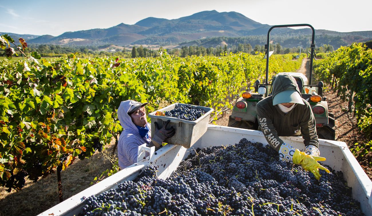 Vineyard workers during 2019 harvest in Lake County Calif by Nathan DeHart