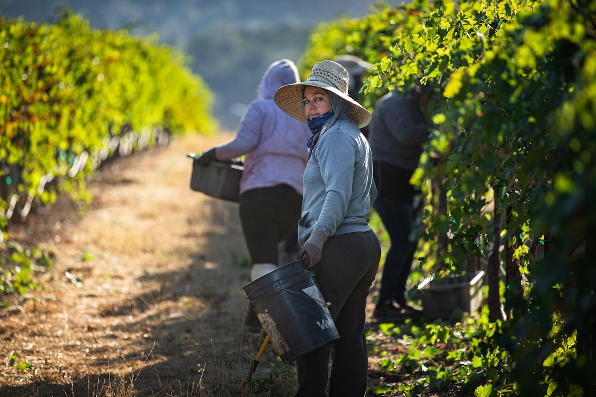 Vineyard works during harvest 2019 in Lake County, Calif. by Nathan DeHart